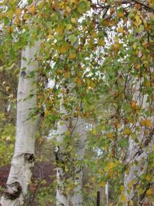 MNJ 05-11-15 - Bouleaux en automne