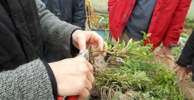 Bouturage des plantes aromatiques